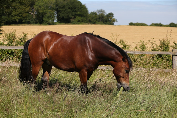 Researchers find part of the missing link between high insulin and laminitis